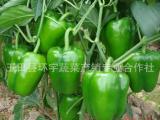 唐山市代理商 代理收购蔬菜 青椒