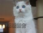 家养金吉拉猫 加菲猫布偶猫 美短加白 蓝猫 蓝白