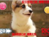 热 销中威尔士柯基犬 两色三色柯基 英国女王犬 高端宠