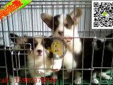 柯基犬有几种 柯基犬多少钱 柯基犬成年多少斤