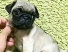 纯种巴哥幼犬 保品质 保健康 保成活 优惠热卖中
