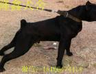 成年卡斯罗价格 卡斯罗幼犬图片