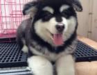 南宁正规犬舍繁殖纯种哈士奇幼犬出售 多只幼犬供选