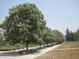 七叶树供应,陕西七叶树苗木供应,叶树小苗木供应