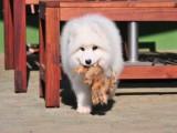 洛阳萨摩耶出售 纯种萨摩耶价格 萨摩耶犬舍