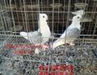 元宝鸽、淑女鸽、摩登娜、仙女鸽、毛领鸽、黄冠鸽燕子鸽等几十种