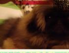 哪里出售京巴犬 纯种京巴多少钱