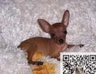 哪里有卖小鹿狗 小鹿犬好养吗