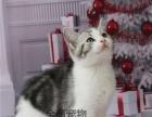 『美短』美短银虎斑蝴蝶斑美短包子脸超萌宠物猫包纯