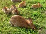 石嘴山大武口种兔繁殖基地法国伊拉种兔出售伊拉兔活体