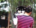 家养一窝纯种阿拉斯加可以签协议 来家里看狗父母