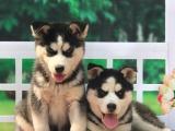 济南 纯种哈士奇幼犬 疫苗齐全出售中 可签协议健康保障