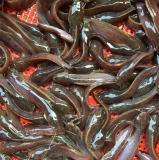 揭阳星州红罗非鱼苗|广州名声好的鱼苗供应商推荐