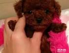 重庆狗狗之家长期出售高品质 泰迪 售后无忧