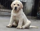昆明纯种拉布拉多价格,昆明哪里能买到纯种拉布拉多犬