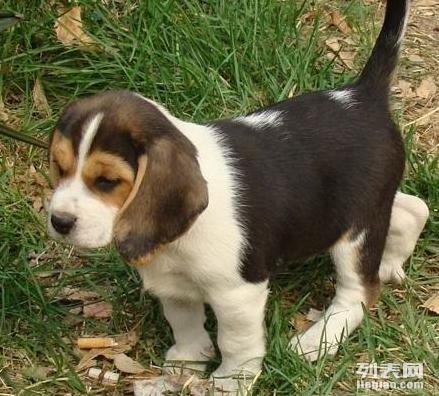 重庆哪里有纯种健康比格买重庆什么地方可以买到比格狗