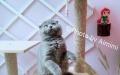 南宁本地英短小猫找新家