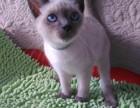 售后完善 质保无忧 出售纯种 暹罗猫 可见父母 随时联系