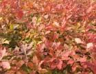 蒙古栎小苗 蒙古栎种子