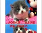 出售短毛猫金吉拉加菲猫 折耳猫 暹罗猫蓝猫等多品种