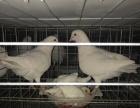 新乡鸽子养殖场 加盟包回收 签合同 有保障