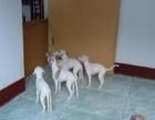 山东格力犬 惠比特犬出售 格力惠比特犬价格 幼犬怎么卖多少钱