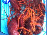 大量批发海水养殖龙虾 澳洲鲜活小龙虾 量大价优