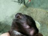 出售自家繁殖的金丝熊