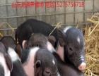 巴马香猪宠物猪价格多少钱一只