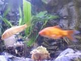 观赏鱼 300元生态鱼缸