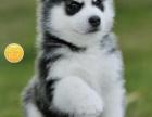 犬舍基地直销包纯种保健顶级繁殖基地出售纯种哈士幼犬 蓝颜三火