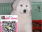 重庆大白熊直销基地 重庆大白熊交易吧 重庆出售纯种大白熊幼犬