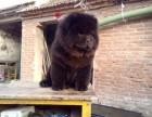天津纯种松狮大概多少钱 在天津什么地方能买到纯种松狮犬