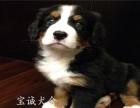 纯种伯恩山幼犬出售 疫苗三针齐全 保售后纯种健康