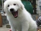 大白熊哪有卖的/宠物店狗市在哪里