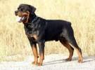 出售纯种罗威纳犬 罗威纳幼犬 品质好信誉高质量保