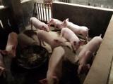 山东生猪价格10.2一斤 仔猪多少钱一头 猪苗哪里便宜