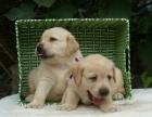 纯种导↑盲犬拉布拉多,温顺听话忠诚的伙〓伴,健康保证