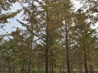 临沂15公分银杏树种植基地选择宏波