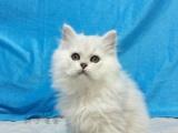 《金吉拉》超萌纯种幼猫,大眼睛,绿眼 蓝眼 宠物猫