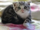 傲娇萌猫纯种折耳猫渐层蓝白折耳宠物猫活体幼体