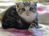 纯种健康的折耳猫宝宝出来跟大家打招呼 品相甚好