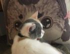 英国短毛猫。正八字,家养