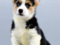 东莞哪里有卖柯基犬 健康纯种柯基犬出售 包签协议 送用品