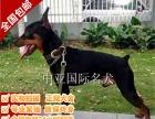 宠物狗 纯种杜宾毛幼犬 视频看狗 免费送货上门