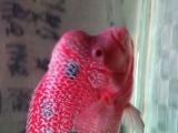 自家养大的罗汉鱼