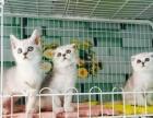 英短猫猫,公母都在,可以上门看猫,价格合理