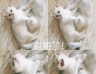 英国短毛猫纯种母宝宝