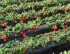 海艳草莓采摘