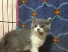 正规猫舍出售暹罗猫活体纯种家养宠物猫猫咪幼崽1